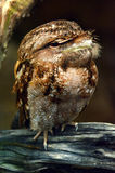 Papuan frogmouth Profile side view Stock Photo