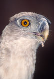 Papuan harpy eagle Stock Photo