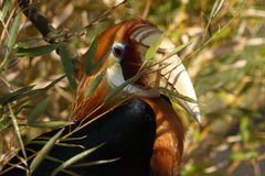 Papuan Hornbill Royalty Free Stock Image