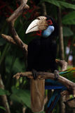 Papuan Hornbill Royalty Free Stock Photo