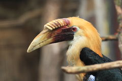 Papuan hornbill Stock Photography