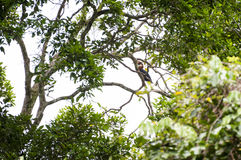 Papuan Hornbill in Manusela National Park, Indonesia. A wild Papuan Hornbill seen in Manusela National Park on the island of Seram in the Raja Ampat area of West Royalty Free Stock Photos