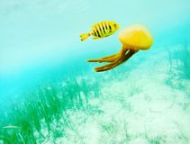 Papuan Jellyfish and Rainbow Royalty Free Stock Photo