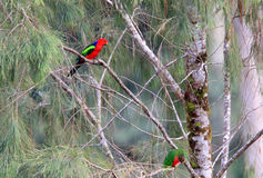 Papuan king parrot Royalty Free Stock Images
