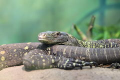 Papuan monitor Stock Photography
