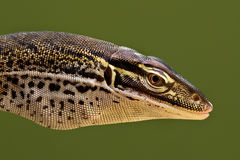 Papuan Sand Monitor head profile. Papuan Sand Monitor (Varanus gouldii horni Stock Photos