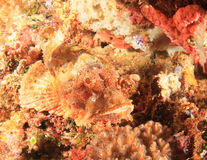 Papuan Scorpionfish Royalty Free Stock Image