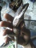 Papuan water dragon Royalty Free Stock Photos