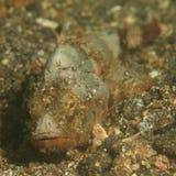 Papuanscorpionfish Stock Afbeeldingen