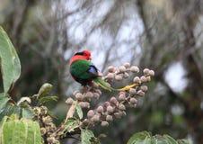Papuaski Lorikeet Zdjęcie Royalty Free