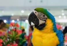 Papug ary błękit, kolor żółty, śliczny i jaskrawy Zdjęcie Royalty Free