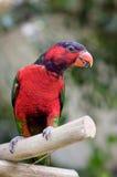 papuga Zdjęcie Royalty Free