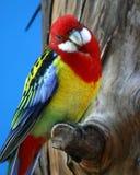 papuga Zdjęcia Royalty Free