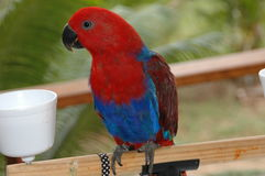 papuga. Obrazy Royalty Free