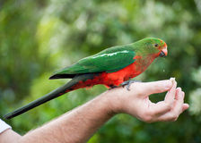Papuga Obrazy Royalty Free