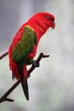 Papuga 3 Zdjęcie Stock