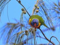 papuga 02 Obraz Stock