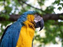 papuga ary Zdjęcie Royalty Free