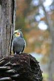 papuga cockatiel obraz stock