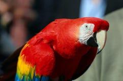 Papuga - Czerwona ara Zdjęcia Royalty Free