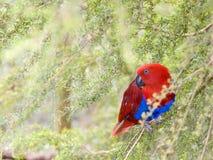 papuga eclectus Obrazy Royalty Free