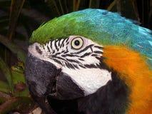 papuga głowy Zdjęcia Stock