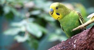 Papuga grean Fotografia Royalty Free