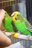 Papuga gryźć palec fotografia stock