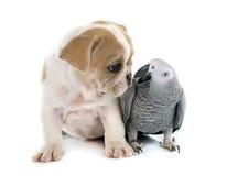 Papuga i szczeniak Obrazy Stock