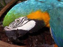papuga kolorowa Obrazy Stock