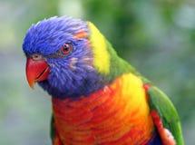 papuga kolorowa Zdjęcia Royalty Free