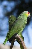 papuga na bokeh tle obraz royalty free