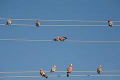 papuga przewód Fotografia Royalty Free
