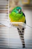 Papuga - psephotus haematonotus Fotografia Stock