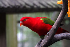 Papuga w Kuala Lumpur ptaka parku zdjęcia royalty free