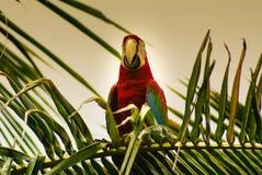 Papuga w parku, wyspa Mucura, Kolumbia Obraz Stock