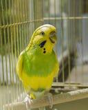 Papuga w złotej klatce obraz stock
