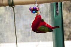 Papuga z zabawką Zdjęcie Royalty Free