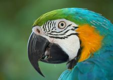 papuga zadumana n 1 Obraz Stock