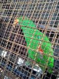 papuga znajdująca w klatce zdjęcie royalty free