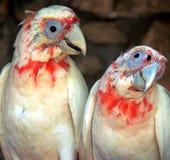papugi Obraz Royalty Free