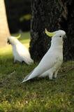 papugi 2 Obrazy Royalty Free