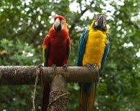 papugi Zdjęcia Stock