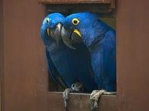 papugi Obrazy Stock