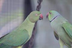 papugi Obrazy Royalty Free
