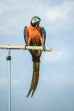Papugi, ar gałąź stojak zdjęcia royalty free