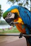 Papugi, ary Obrazy Royalty Free