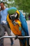 Papugi, ary Fotografia Stock