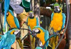 Papugi ary, ptaki na gałąź Zdjęcie Stock