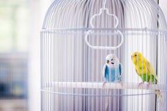 papugi błękitny kolor żółty obrazy stock
